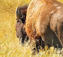 Blackfeet Reservation Bison Herd Bull, Montana photo by Donna Ridgway