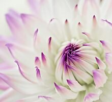 Dahlia in high key by Celeste Mookherjee