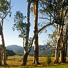 Roadside trees, Buckland Valley, Victoria. by johnrf