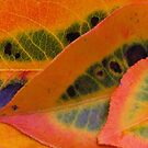pear tree leaves  by ANNABEL   S. ALENTON