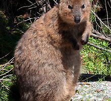 The Quokka of Rottnest by Rob Hawkins