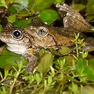 Mating Peron's Tree Frogs - Litoria peronii by Andrew Trevor-Jones