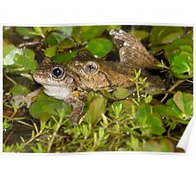 Mating Peron's Tree Frogs - Litoria peronii Poster