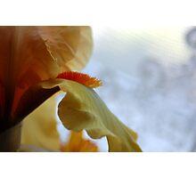 Yellow Bearded Iris Photographic Print