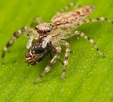 Jumper Eating Fly @2x by Andrew Widdowson