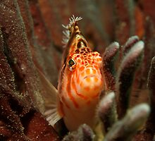 Fly Point Hawkfish by Matt-Dowse