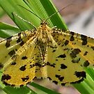 Speckled Yellow by Hugh J Griffiths