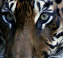 Hybrid Tigress - Melbourne Zoo, Australia Sticker
