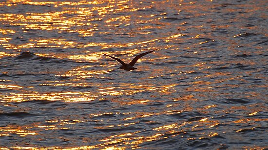 Seagull At Sunset by Ron Hannah