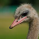 Ostrich Portrait by JMChown