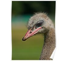 Ostrich Portrait Poster