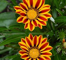 Treasure Flower - Gazania Rigens by vbk70