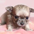 Sweet chihuahua puppy by MayJ