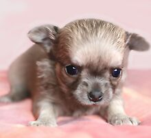 Cute Chihuahuas by MayJ