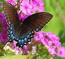 Eastern Tiger Swallowtail by Bron Praslicka