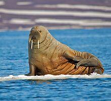 Walrus by RobertCave