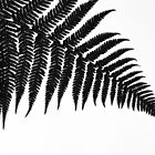 Silver Fern by mattslinn