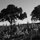 Two Oaks in the Vineyard by CherylBee