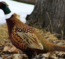 Ring-necked Pheasant Sticker