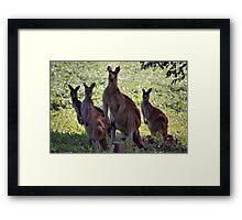 Kangaroos, South West Australia Framed Print