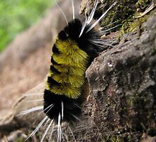 Black and Yellow Caterpillar by Agood