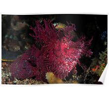 Weedy Scorpionfish Poster