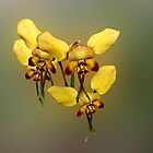 Dainty Donkey Orchid, Diuris aff recurva by Julia Harwood