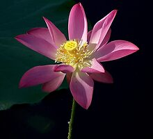 Lotus Enlightenment  by jono johnson