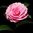 Pink Camellia #2 by Chris Cobern