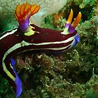 Purple lined Nembrotha by KelShel