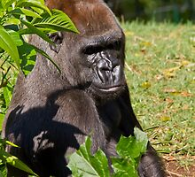 Gorilla at the Melbourne Zoo by David  Piko