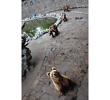 Bears Photographic Print