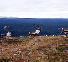 Reindeers in northern Lapland by Susanna Hietanen