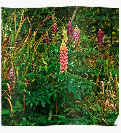 Lupins in the Pond Garden Poster