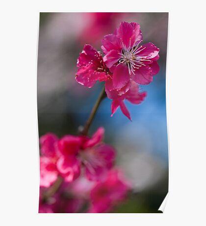Flowering peach Poster