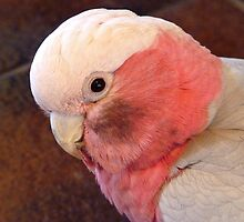 You Put Your Face In A Coal Bucket And See How You Look!!! Galah - NZ by AndreaEL