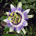 Blue, or common, passionflower (Passiflora caerulea) by Philip Mitchell