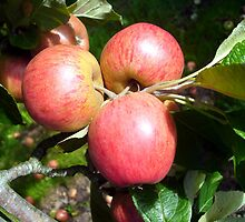 Cider Apples from Somerset by trish725