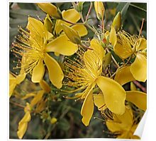 Hypericum flowers on a shrub Poster