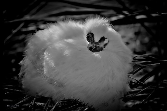 Silky Chicken by Elaine Teague