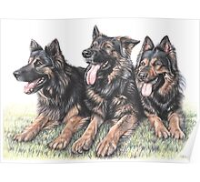 Longhaired German Shepherds Poster
