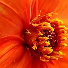 Dahlia Beauty by PatChristensen