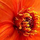 Dahlia Beauty by PatChristensen