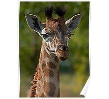 Juvenile Giraffe Portrait Poster