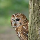 Tawny Owl by MendipBlue