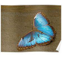 Blue morpho Poster