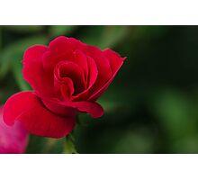 Single Rose Photographic Print