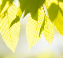 Young Elm leaves on blurred green  Sticker