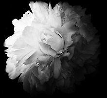 White Peony by Catherine Restivo