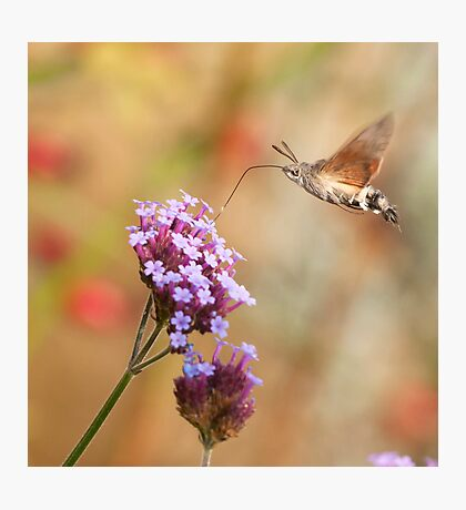 Hummingbird hawk-moth against a Flowery Background Photographic Print
